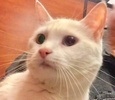 A picture of #ET02735: Icelie a Domestic Short Hair white bi-eyed