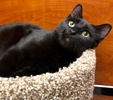 A picture of #ET02736: Fiora a Domestic Short Hair black