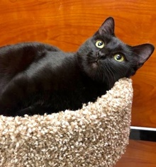 [another picture of Fiora, a Domestic Short Hair black\ cat]