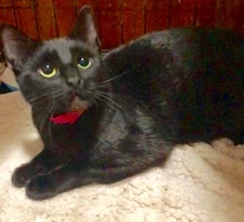 [picture of Fiora, a Domestic Short Hair black cat]