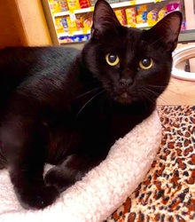 [picture of Fiora, a Domestic Short Hair black\ cat]