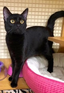 [another picture of Tyler, a Bombay black\ cat]