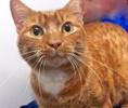 A picture of #ET02739: Brulee a Domestic Short Hair orange tabby