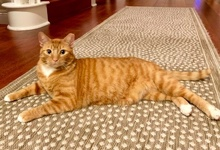 [another picture of Brulee, a Domestic Short Hair orange tabby\ cat]