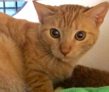 [picture of Lujack, a Domestic Short Hair orange tabby\ cat]