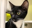 A picture of #ET02745: Vanna a Domestic Short Hair black/white
