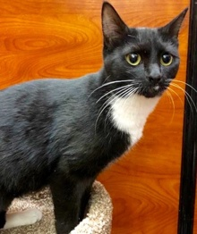 [another picture of Vanna, a Domestic Short Hair black/white\ cat]