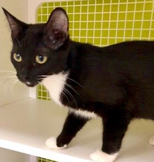 [picture of Vanna, a Domestic Short Hair black/white\ cat]