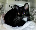 A picture of #ET02748: Boots a Domestic Short Hair black/white