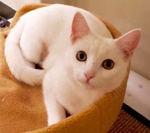 [another picture of Moon, a Domestic Short Hair white\ cat]