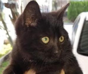 [picture of Blitzen, a Domestic Medium Hair black\ cat]