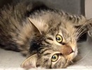 A picture of #ET02757: Nemea a Maine Coon-x gray