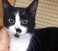 A picture of #ET02759: Chiqie a Domestic Medium Hair black/white
