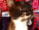 A picture of #ET02760: Chela a Domestic Medium Hair black/white tuxedo