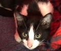 A picture of #ET02761: Maruk a Domestic Medium Hair black.white stripe
