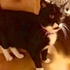 A picture of #ET02762: Ms Weston a Domestic Short Hair black/white