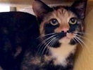 A picture of #ET02763: Viva a Domestic Short Hair tortie