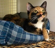 [another picture of Viva, a Domestic Short Hair tortie\ cat]