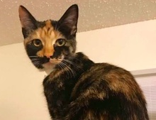 [picture of Viva, a Domestic Short Hair tortie cat]