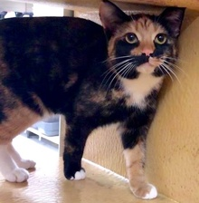 [picture of Viva, a Domestic Short Hair tortie\ cat]