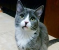 A picture of #ET02764: Teragon a Domestic Short Hair blue/white