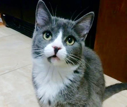 [picture of Teragon, a Domestic Short Hair blue/white\ cat]