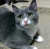 A picture of #ET02765: Tonopah a Domestic Short Hair blue/white
