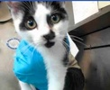 A picture of #ET02766: Vasily a Domestic Short Hair black/white