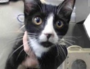 A picture of #ET02767: Fritzy a Domestic Short Hair black/white