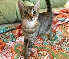[another picture of Tiger Lilly, a Domestic Short Hair brown tabby\ cat]