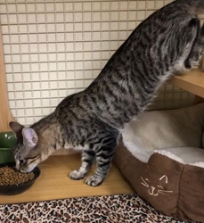 [picture of Tiger Lilly, a Domestic Short Hair brown tabby cat]