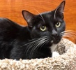 A picture of #ET02769: Galindo a Domestic Short Hair black/white