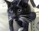 [picture of Galindo, a Domestic Short Hair black/white cat]