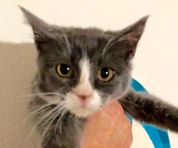 [picture of Tarleton, a Domestic Short Hair blue/white\ cat]