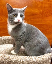 [another picture of Teli, a Domestic Short Hair blue/white\ cat]