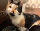A picture of #ET02772: Josie a Domestic Short Hair calico