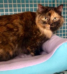 [another picture of Keyera, a Maine Coon-x tortie\ cat]