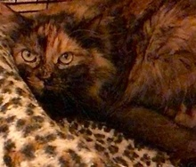 [picture of Keyera, a Maine Coon-x tortie cat]