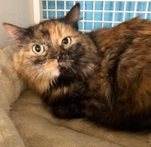 [picture of Keyera, a Maine Coon-x tortie\ cat]
