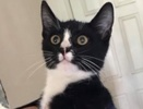 A picture of #ET02774: Wizz a Domestic Short Hair black/white