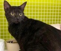 A picture of #ET02775: Ursula a Domestic Short Hair black