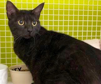[picture of Ursula, a Domestic Short Hair black\ cat]