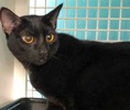 A picture of #ET02776: Mr Blackjack a Domestic Short Hair black