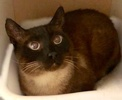 A picture of #ET02777: Hank a Siamese seal point