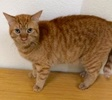 A picture of #ET02778: Dude a Domestic Short Hair orange tabby