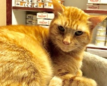 [picture of Dude, a Domestic Short Hair orange tabby\ cat]