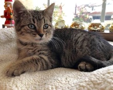 [another picture of Dumpy, a Domestic Medium Hair gray tabby\ cat]