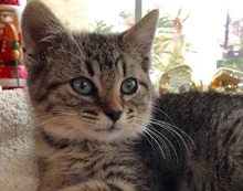 [picture of Dumpy, a Domestic Medium Hair gray tabby\ cat]