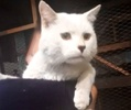 A picture of #ET02781: Tizoc a Turkish Van Mix white