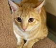 A picture of #ET02782: Waverly a Domestic Short Hair orange